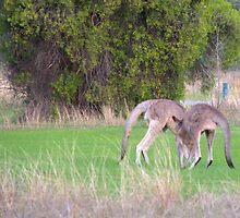 Kangaroos by ndarby1
