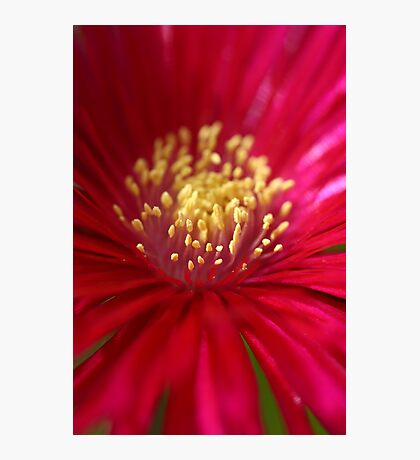 Red or Pink Photographic Print