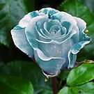 Blue Roses by Yampimon