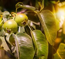 Young Green Pears by MaxalTamor