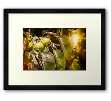 Young Green Pears Framed Print