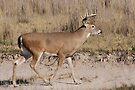 whitetail buck 4x4 by Rodney55