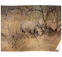 White Rhino at Kruger National park Poster