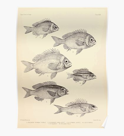 The fishes of India by Francis Day 022 - Scolopsis Vosmeri young, S Vosmeri semi-adult, S Vosmeri adult, S Leucotaenia, S Ciliatus, Synagris Tolu Poster