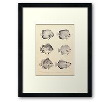The fishes of India by Francis Day 027 - Holacanthus Annularis, H Xanthurus, Scatophagus Argus, Ephippus Orbis, Drepane Punctata, Toxotes Chatareus Framed Print