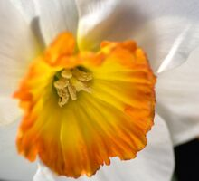 Daffodil Dressed in White Sticker