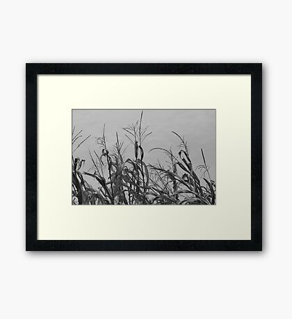 Dried Up Corn Framed Print