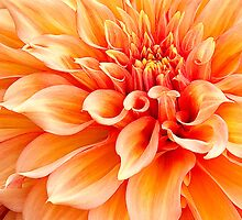 Dahlia in Orange - replaced by Marilyn Cornwell