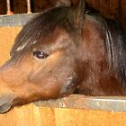 Joey The shetland Pony by Linda Miller Gesualdo
