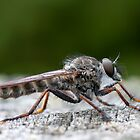 robber fly profile by janko