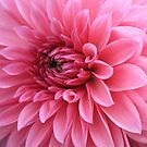 Pink, so soft... by Indrani Ghose