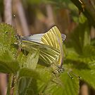 Green veined white's mating by Jon Lees