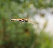 Dragon fly in flight by Ben  Warren