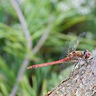 Dragon fly on a tree. by Ben  Warren
