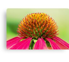 Echinacea purpurea - Purple coneflower Canvas Print