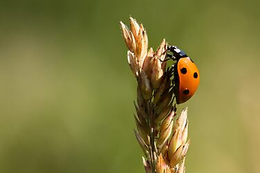 7  Spot Ladybird by chris2766
