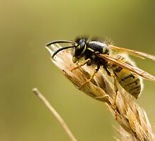 Wasp by chris2766