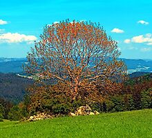 Lonely old tree in springtime scenery by Patrick Jobst