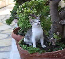 Greek Kitten - Pantokrator Monastary, Corfu by paulgranahan