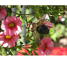 Beezy as can bee Photographic Print