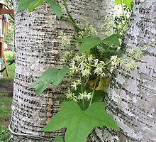 Wild Cucumber On Birch by silverdragon