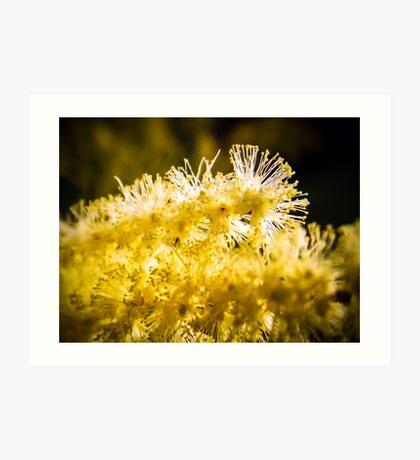 Wattle Flower Art Print