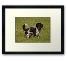 Springer Spaniel Poodle Cross (Sproodle)  Framed Print