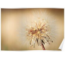 Dried Dandelion  Poster