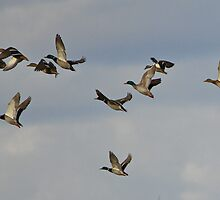 Mallards In Flight by Bob Purdy
