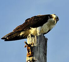 Osprey on pole by David Lee Thompson
