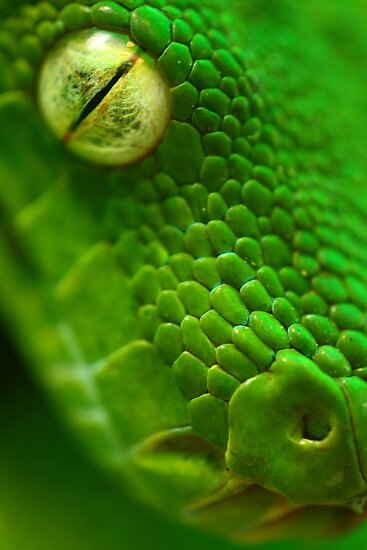 Green Python, Papua New Guinea. by panvorax