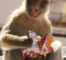 Thieving monkey. by fotopro
