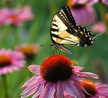 A Rainbow of Color: Tiger Swallowtail on Echinacea by Jennifer Lyn King