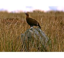 Rock Grouse Photographic Print