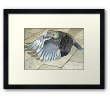 A Pigeon in flight Framed Print