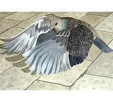 A Pigeon in flight Photographic Print