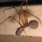 Mummy Daddy Long Leg Spider by Aaron Murgatroyd