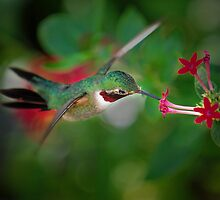 Hummingbird arial by joemc