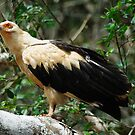 Palm-nut vulture by Paulo van Breugel