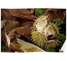 Horse chestnut shell Poster