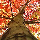 maple leaves from here by ANNABEL   S. ALENTON