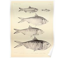 The fishes of India by Francis Day 162 - Clupea lile Corica soborna Ilisha Tridia Poster