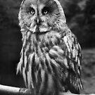Great Grey Owl by Wayne Gerard Trotman