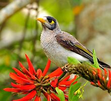 Our beautiful world, a noisy mynah and  flame tree by bobbyverrills