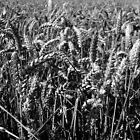 Wheat Field by Tom Clancy