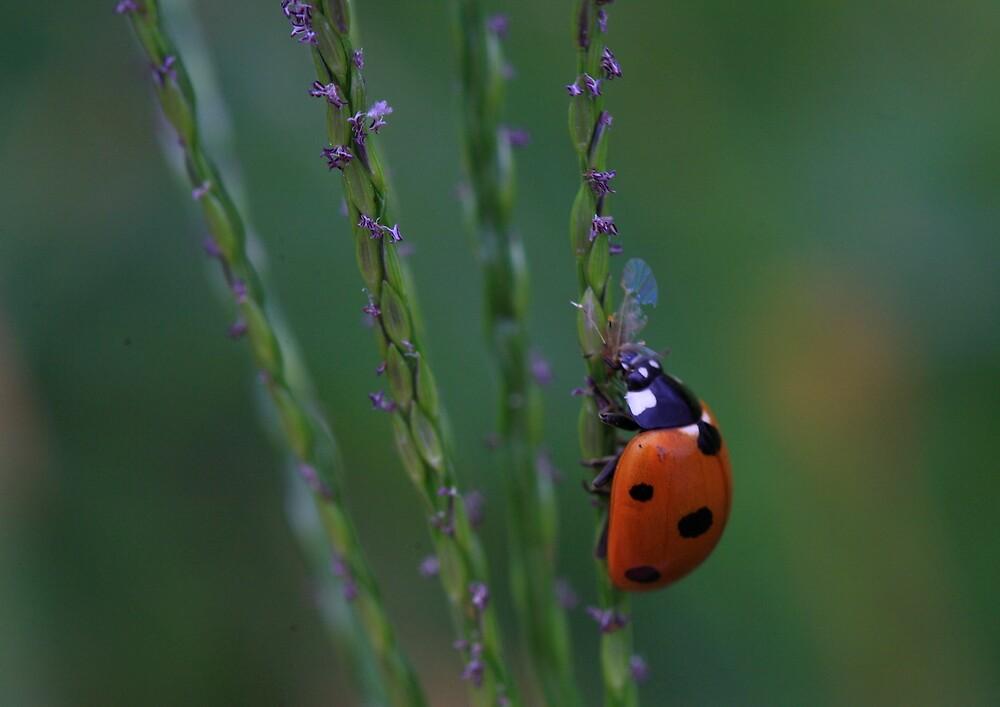 Ladybug On Grass Stalk by Ronda Sliter