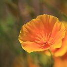 Golden Poppy by Ronda Sliter