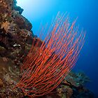 Red Sea Whips - Osprey Reef by allyazza
