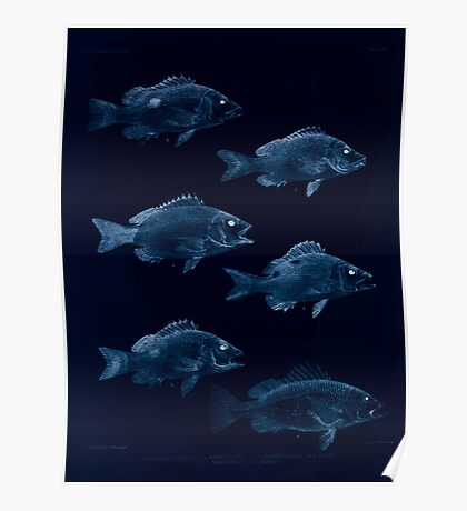 The fishes of India by Francis Day 012 - Inverted - Lutianus Johnii, Gubbus adult, Gubbus young, L Buhar, L Marginatus, L Yapilli Poster