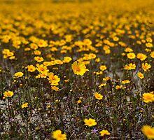 California Wildflowers by Rebecca Sowards-Emmerd
